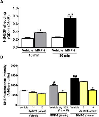Matrix metalloproteinase-2-induced epidermal growth factor