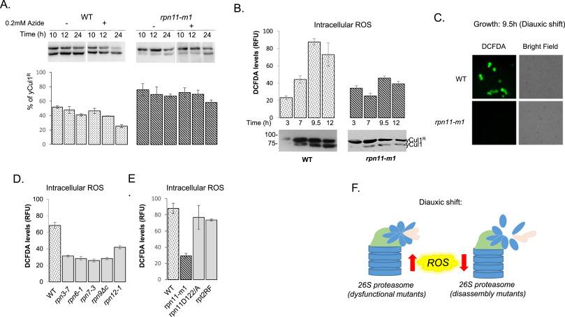 3f9445e8ea34 Proteasome lid bridges mitochondrial stress with Cdc53 Cullin1 ...