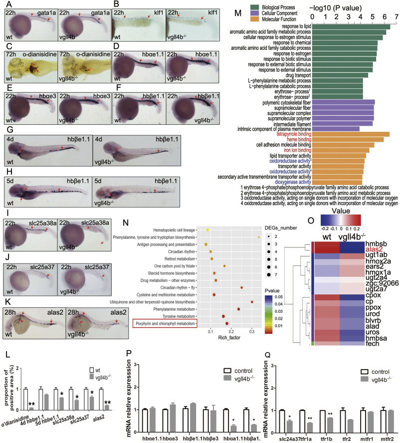 The influence of hypoxia on GATA-1 and Epo expression levels in developing zebrafish
