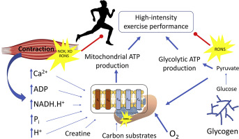 An integrative approach to the regulation of mitochondrial respiration  during exercise: Focus on high-intensity exercise - ScienceDirectScienceDirect.com