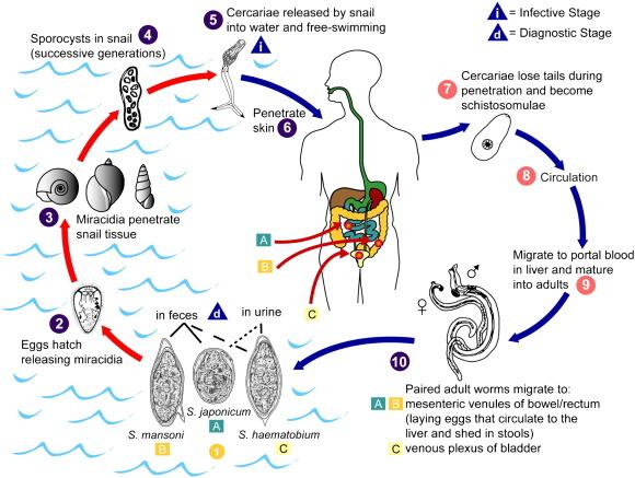 peptic ulcer disease - Romanian translation – Linguee