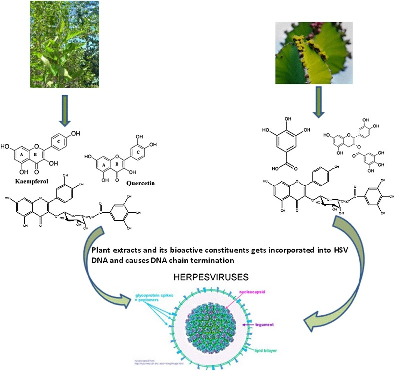 Antiviral effect of polyphenol rich plant extracts on herpes simplex