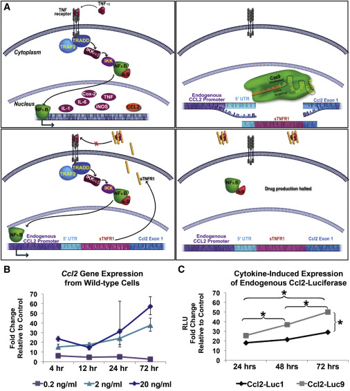 Genome Engineering of Stem Cells for Autonomously Regulated