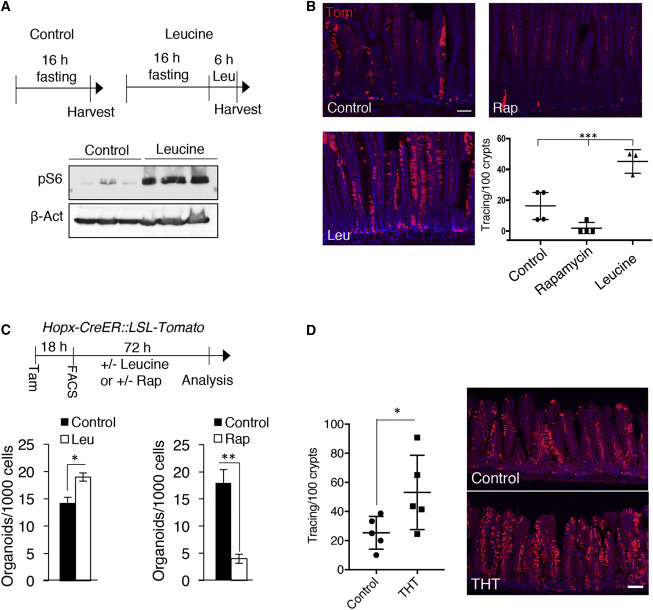 Calorie Restriction Governs Intestinal Epithelial