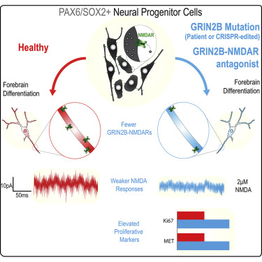 Disruption Of Grin2b Impairs Differentiation In Human Neurons