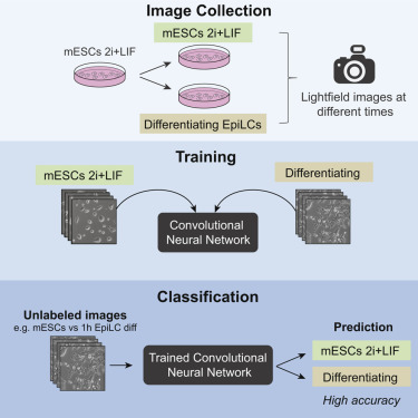 Deep Learning Neural Networks Highly Predict Very Early Onset Of Pluripotent Stem Cell Differentiation Sciencedirect