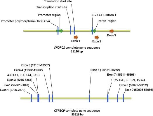 A novel VKORC1 promoter mutation found causing warfarin