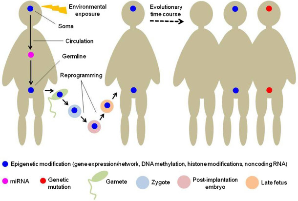 Transgenerational Epigenetic >> Transgenerational Epigenetic Inheritance Emerging Concepts And
