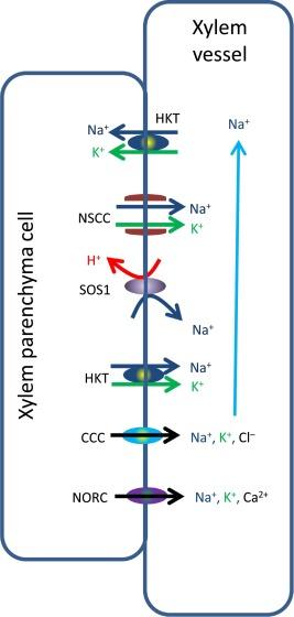 Plant Salt Tolerance And Na Sensing And Transport Sciencedirect