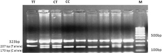 Designing Optimization And Validation Of Tetra Primer Arms Pcr Protocol For Genotyping Mutations In Caprine Fec Genes Sciencedirect
