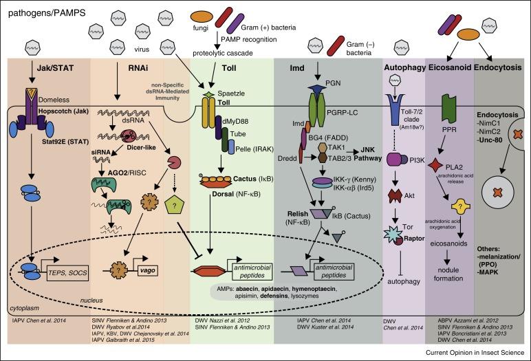 Antiviral Defense Mechanisms In Honey Bees Sciencedirect