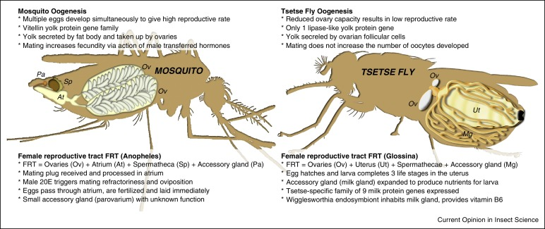 A comparative analysis of reproductive biology of insect vectors of figure 1 oogenesis in mosquitoes and tsetse flies an anopheles mosquito is shown on the left and a tsetse fly on the right eggs are shown within the ccuart Gallery