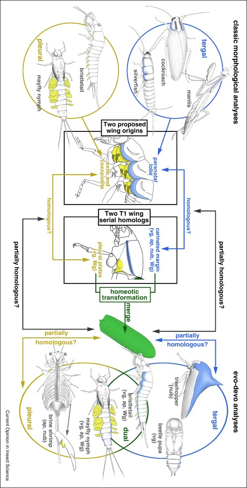 Exploring the origin of insect wings from an evo-devo perspective ...
