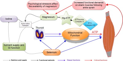 The Womed Model Of Benign Thyroid Disease Acquired Magnesium