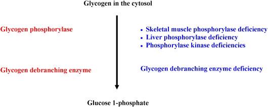 Glycogen metabolism in humans - ScienceDirect