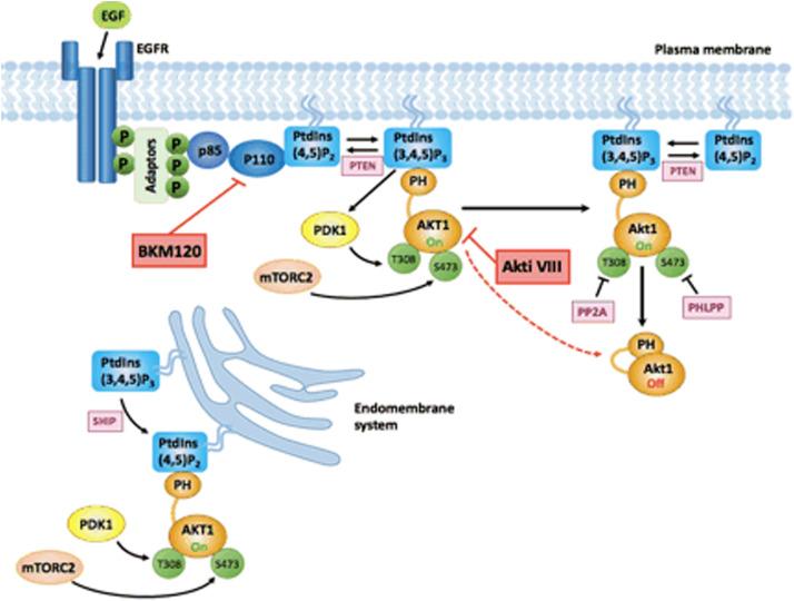 Time resolved amplified FRET identifies protein kinase B ...