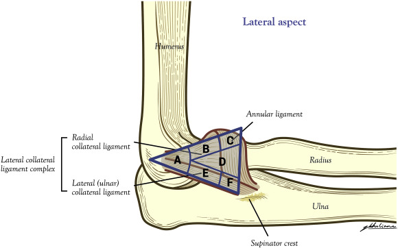 Mechanoreceptor profile of the lateral collateral ligament complex ...