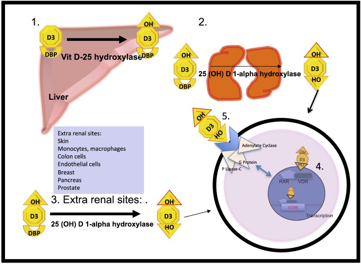 Undergoes The First Biological Activation In Liver Where Vitamin D Is Converted To 25OHD By Cytochrome