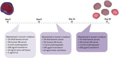 Optimization of an erythroid culture system to reduce the