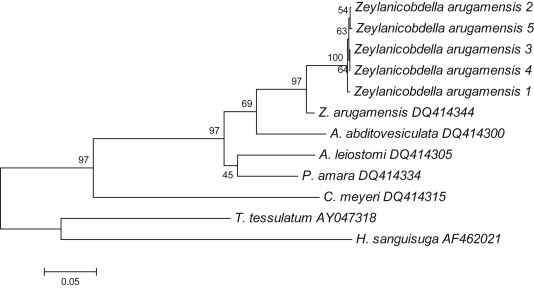 Zeylanicobdella arugamensis, the marine leech from cultured