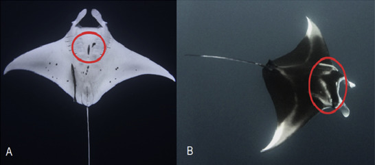 First records of the reef manta ray Manta alfredi in the