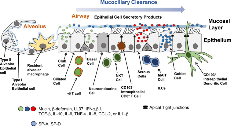 The Role Of Respiratory Epithelium In Host Defence Against