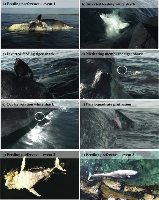 db7b8928 Whale carcass scavenging by sharks - ScienceDirect