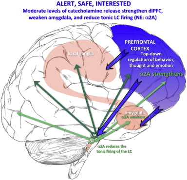 the effects of stress exposure on prefrontal cortex translating