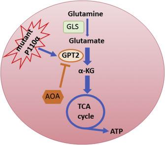 Targeting Glutamine Metabolism In Pik3ca Mutant Colorectal Cancers Sciencedirect