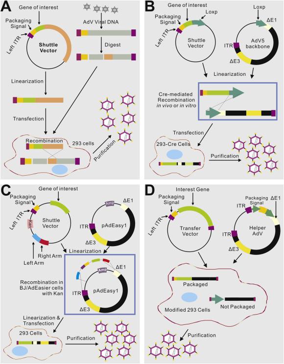 Adenovirus-mediated gene delivery: Potential applications for gene