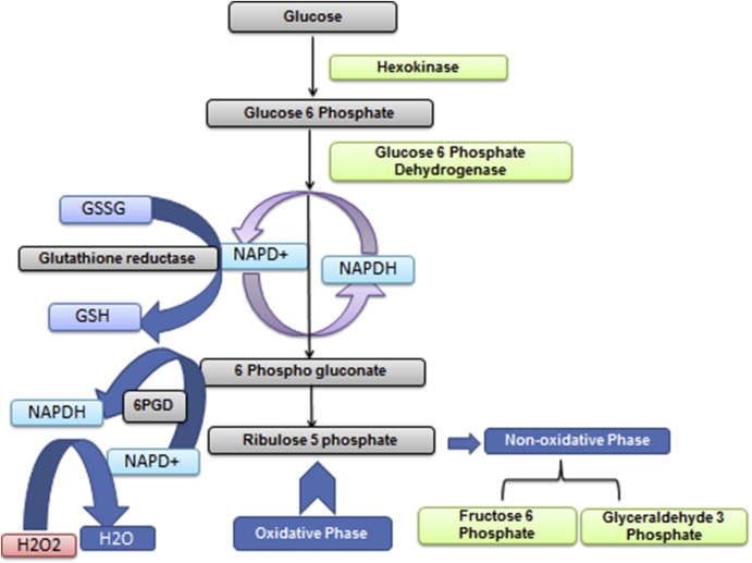 Glucose 6 phosphatase dehydrogenase (G6PD) and neurodegenerative disorders:  Mapping diagnostic and therapeutic opportunities - ScienceDirect