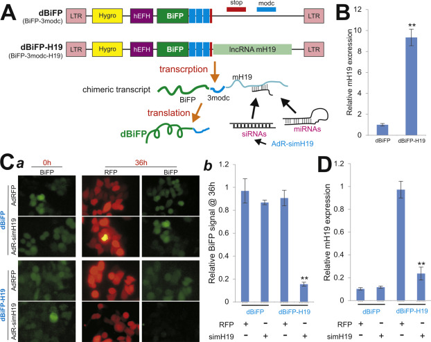 The development of a sensitive fluorescent protein-based