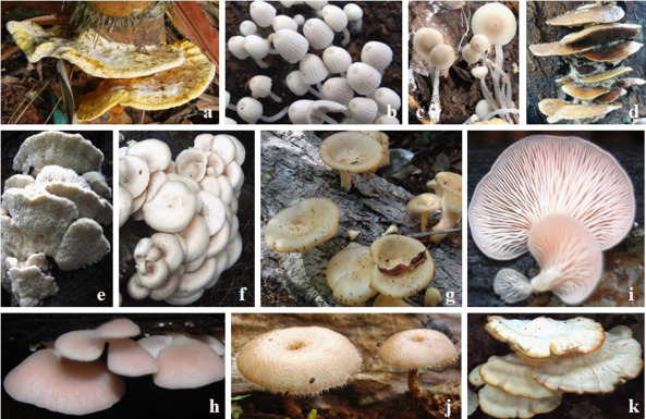 Edible wild mushrooms of the Western Ghats: Data on the ethnic