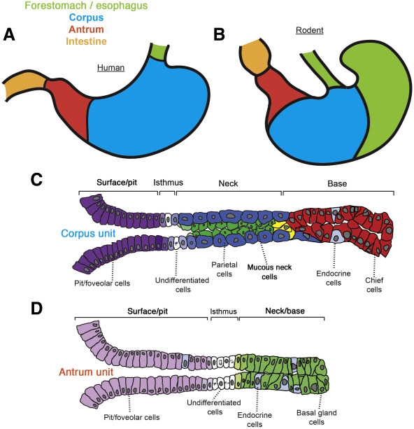 Stomach organ and cell lineage differentiation from embryogenesis download full size image ccuart Gallery