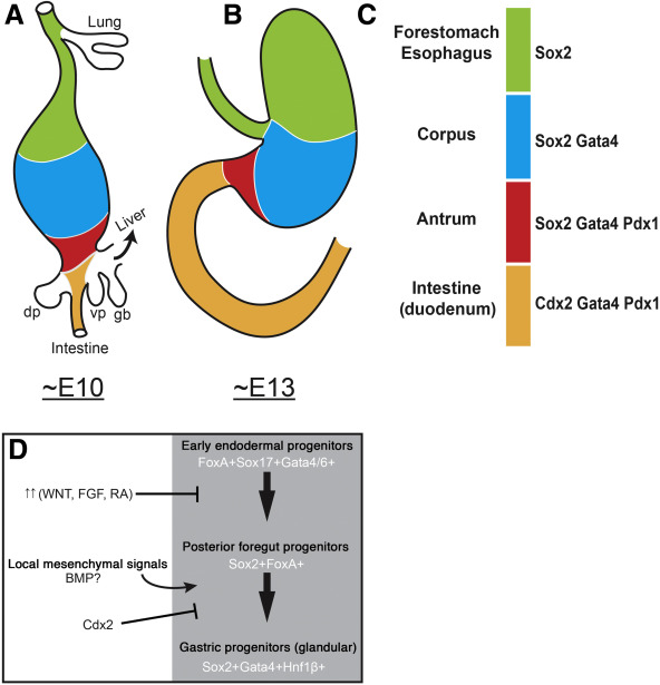 Stomach Organ and Cell Lineage Differentiation: From Embryogenesis to Adult  Homeostasis - ScienceDirectScienceDirect.com