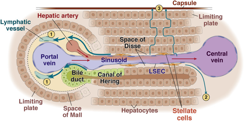 The Hepatic Lymphatic Vascular System Structure Function Markers