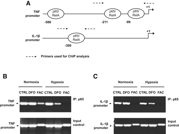 Iron Prevents Hypoxia-Associated Inflammation Through the