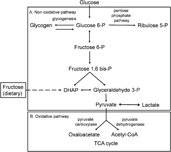 High Fructose Diet In Adolescence May >> Acute Metabolic Responses To High Fructose Corn Syrup Ingestion In