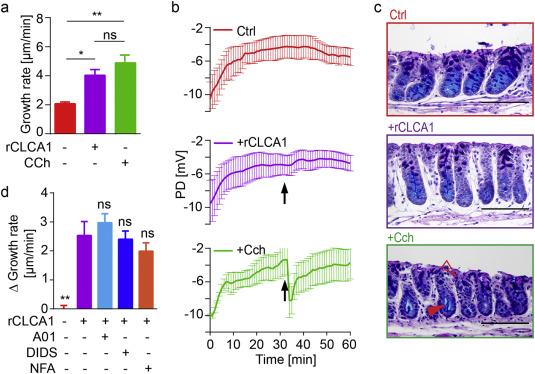 Calcium-activated Chloride Channel Regulator 1 (CLCA1
