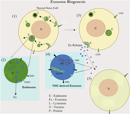Neural stem cell derived extracellular vesicles: Attributes and