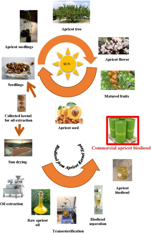 The potential of utilising papaya seed oil and stone fruit kernel