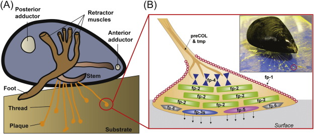 Marine Mussel Adhesion And Bio Inspired Wet Adhesives Sciencedirect