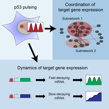 p53 Pulses Diversify Target Gene Expression Dynamics in an