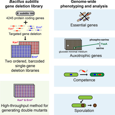 Construction And Analysis Of Two Genome Scale Deletion Libraries For
