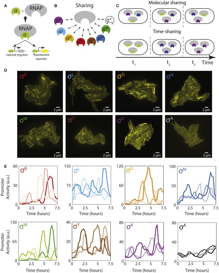 Molecular Time Sharing through Dynamic Pulsing in Single