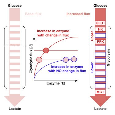 enzymatic diagram of glycolysis four key steps control glycolytic flux in mammalian cells  four key steps control glycolytic flux