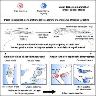 Tissue Architectural Cues Drive Organ Targeting of Tumor