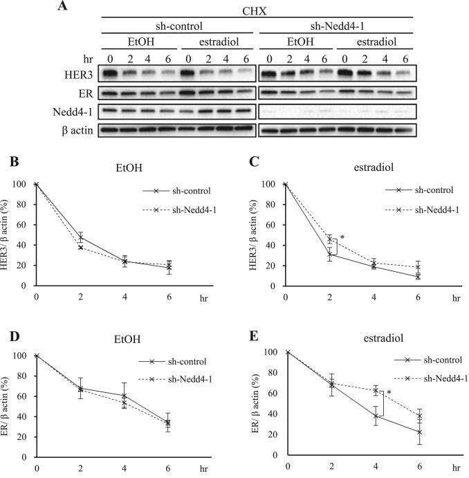 Estradiol promotes rapid degradation of HER3 in ER-positive