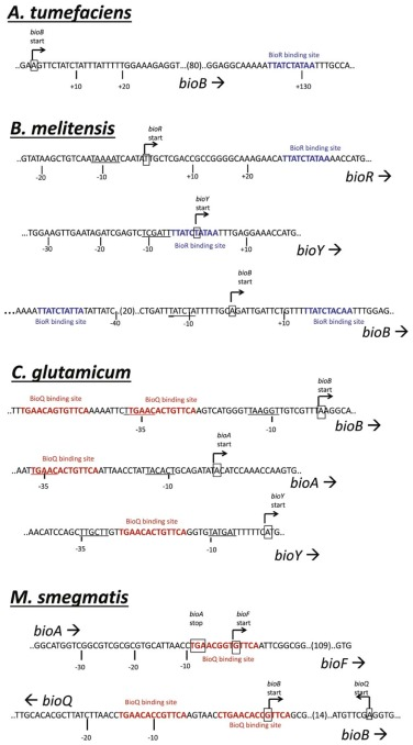 Mechanisms Of Biotin Regulated Gene Expression In Microbes