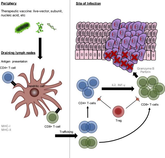 Human papillomavirus vaccine production, Human papillomavirus vaccine production